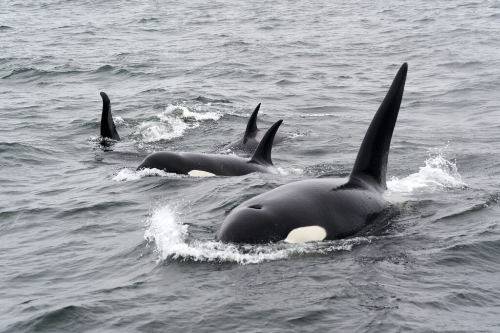 killer whale and calves in the sea, the equivalent of 200 tonnes of surplus food